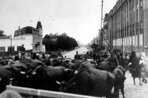 Немцы гонят через Ригу скот. Октябрь 1944 г.